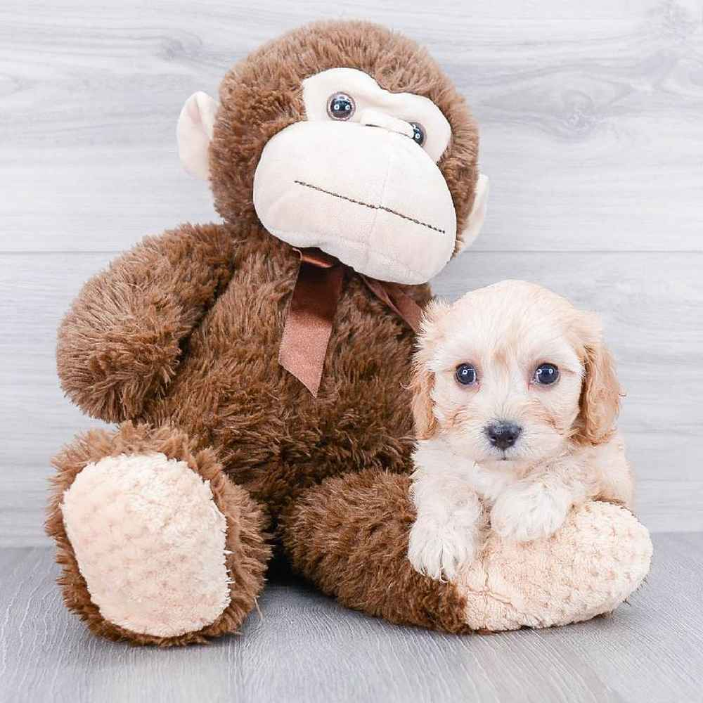 Available Puppies For Sale - Pet Express
